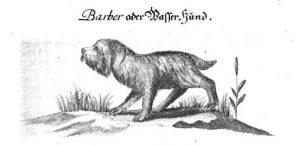 """""""Barber (Barbet) or Water Dog"""" From Der Vollkommene Teutsche Jäger"""
